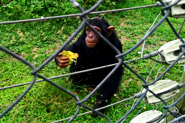 1 Day Ngamba Island chimpanzee trekking tour on Lake Victoria with chimpanzee feeding | Ngamba Island Chimpanzee Sanctuary