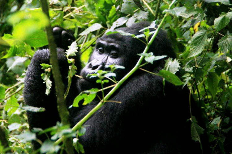3 Days Gorilla tracking